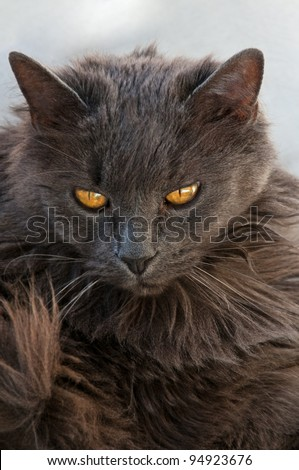 Family pet cat looking put out because she was woke from a nap to get her photo taken. - stock photo