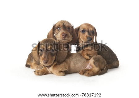 Family portrait of wire-haired dachshund puppies on white background