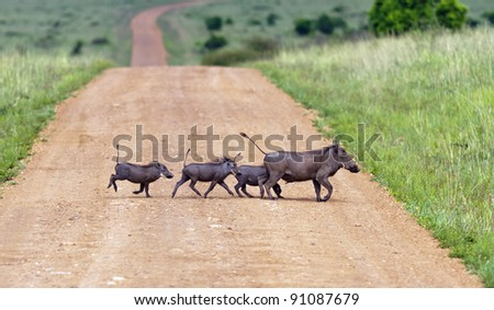 Family warthogs on the Masai Mara National Reserve - Kenya - stock photo