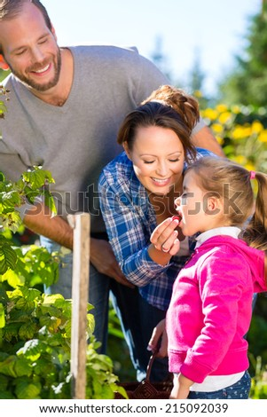 Family with mother, father and daughter picking berries from blackberry bush in the garden - stock photo