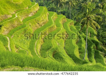 Famous attraction of Ubud - Tegallalang Rice Terraces in Bali, Indonesia