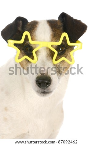 famous dog - jack russel terrier wearing yellow star shaped glasses on white background