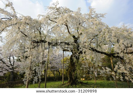 Famous Kyoto cherry tree in full blossom