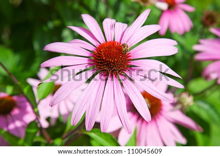 Famous purple echinacea, natural medicine for human immune system - stock photo