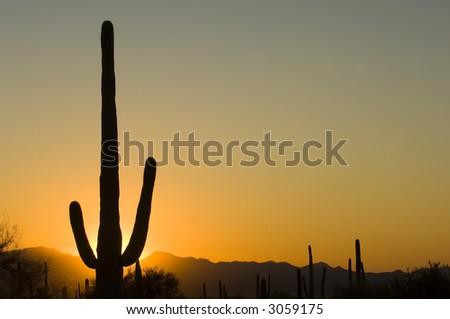 Famous saguaro cactus in Saguaro National park, Arizona - stock photo