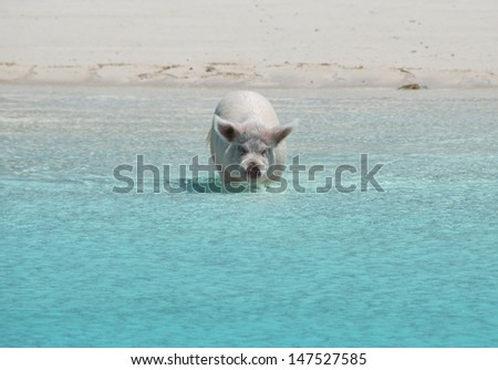 Famous swimming pigs of Exumas, Bahamas - stock photo