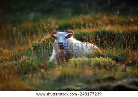 Famous white Icelandic sheep resting in grass on a sunset, West Iceland - stock photo
