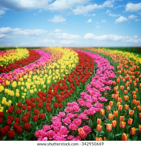 Famouse dutch colorful tulips field with rows under blue sky, retro toned