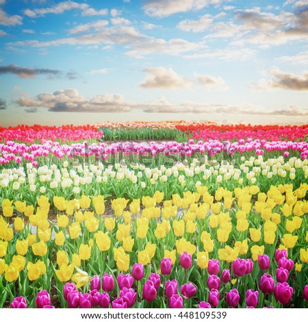 Famouse dutch multicolored  tulip field with stripes in sunny day with blue sky, retro toned - stock photo