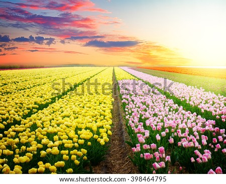Famouse pink tulip field with rows on sunset - stock photo