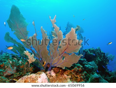 Fan coral, a natural habitat for reef life. - stock photo
