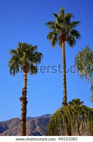 fan palm trees. fan palms trees palm springs california washingtonia filifera
