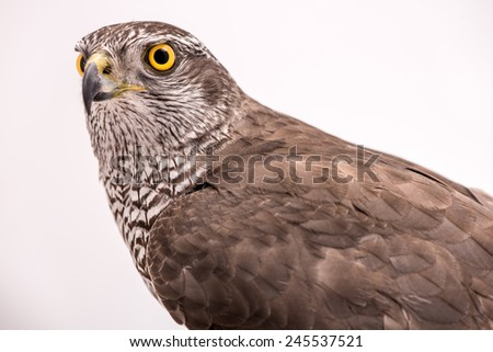 Fanciers hawk. Hawk portrait isolated on white background.  - stock photo