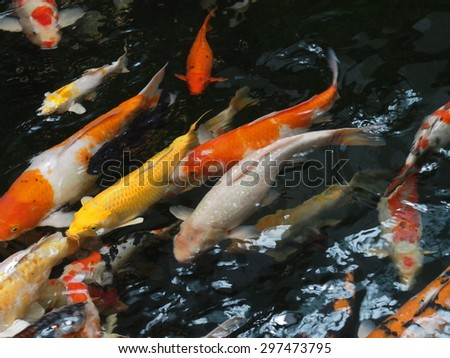Fancy Carp in black water