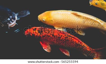 Fancy carp koi fish redorange colorful stock photo for Carpe koi orange