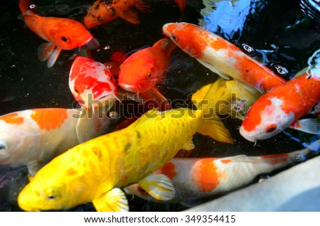Koi stock photos royalty free images vectors shutterstock for Koi pond you can swim in