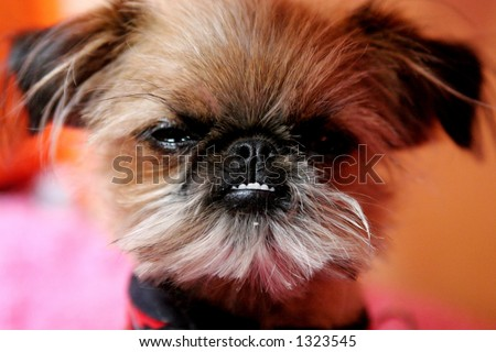 Fancy celebrity puppy dog. - stock photo