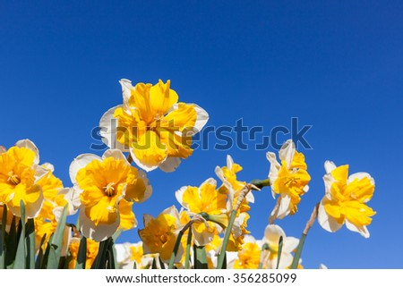 Fancy double daffodils with yellow and white petals against a clear blue sky background. - stock photo