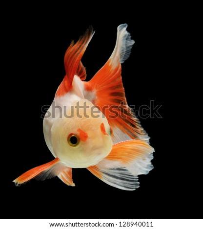fancy goldfish isolated on black background - stock photo