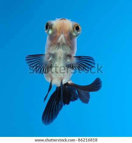 fancy goldfish on blue background - stock photo