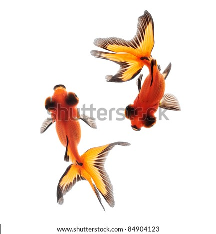 fancy goldfish top view isolated on white background - stock photo