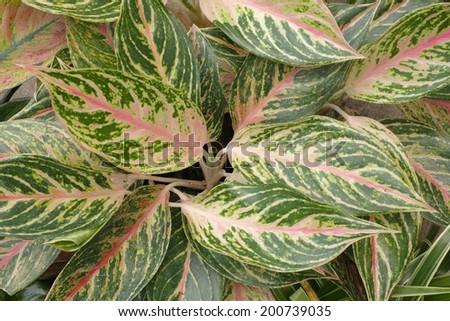 Fancy Leaved caladium - stock photo