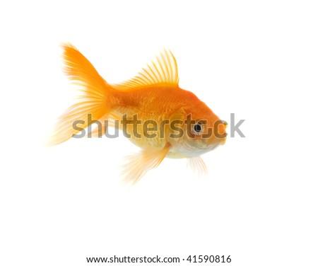 Fancy, orange goldfish, shot on white background. - stock photo