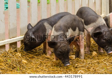 Fancy piglet on hay and straw at pig breeding farm - stock photo