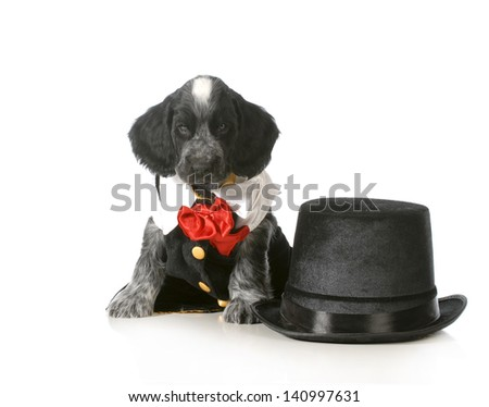 fancy puppy - english cocker spaniel wearing tuxedo sitting beside top hat isolated on white background - 7 weeks old - stock photo