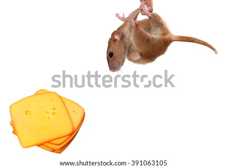 Fancy rat hang on finger and looking at slices of cheese. Isolated on white background with copy space. - stock photo
