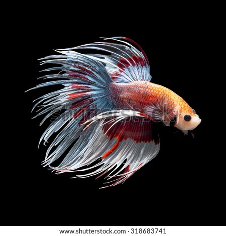 Stock images royalty free images vectors shutterstock for Crown betta fish