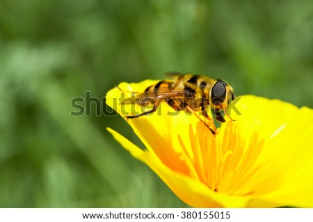 fanny bee sucking nectar from a yellow flower close up blurred green background  - stock photo