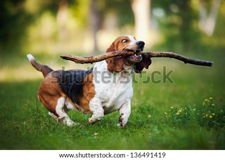 fanny dog basset hound running on the grass with stick - stock photo