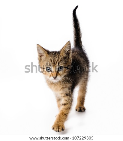 Fanny striped kitten isolated on white background - stock photo