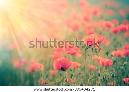 Fantastic  background of landscape  of Summer poppy field with golden sunbeams and defocused backdrop - stock photo