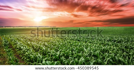 fantastic Beautiful sunset over the green large field of corn. Idea concept corn harvest. majestic rural landscape under overcast sky. Soft lighting effects. for the design. motion blur effect - stock photo
