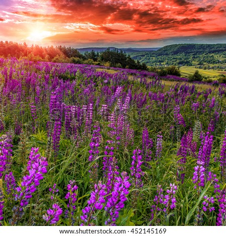 fantastic bloody sunset. majestic overcast sky with  colorful clouds. over the mountain valley. Pink lupine flowers in the foreground. picturesque scene. breathtaking scenery. original creative images