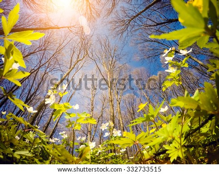 Fantastic forest with fresh flowers in the sunlight. Dramatic unusual scenery. Springtime is the moment for snowdrop anemone. Europe. Beauty world. Soft filter effect. - stock photo