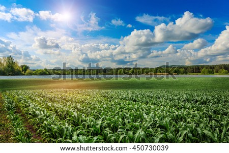 fantastic landscape over the green large field of corn with forest lake in the background. concept corn harvest. majestic rural landscape under overcast sky. Soft lighting effects. creative image.  - stock photo