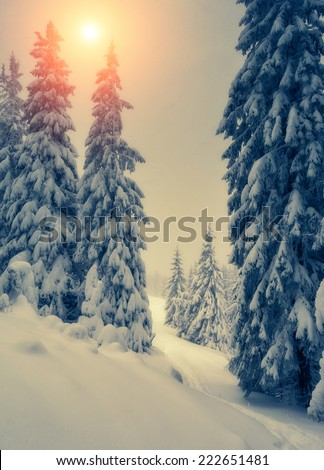 Fantastic snow covered spruce trees glow by sunlight. Dramatic wintry scene. National Park Carpathian, Ukraine, Europe. Beauty world. Retro style filter. Instagram toning effect. Happy New Year!