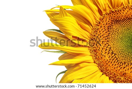 Fantastic sunflower - stock photo