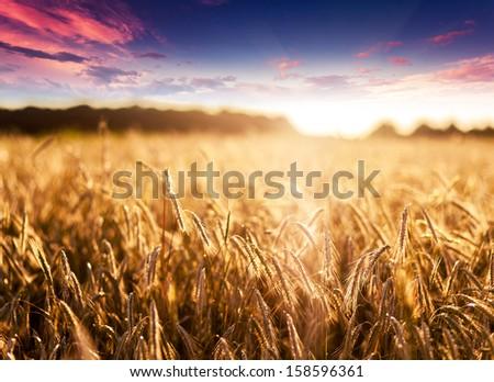 Fantastic wheat field at the sunset. Colorful overcast sky. Ukraine, Europe. Beauty world. - stock photo