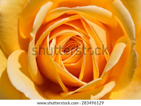 fantastic yellow rose close up