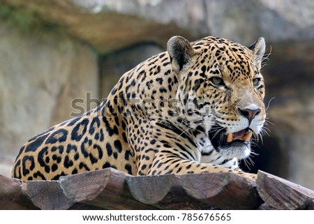 Far Eastern leopard, or Amur leopard (lat. Panthera pardus orientalis) is resting. Closeup, portrait. Currently, the Far Eastern leopard is on the verge of extinction.