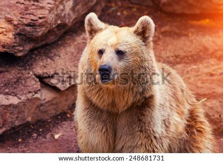 Far Eastern wild bear walk near rock - stock photo