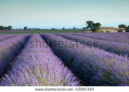 Farm and rows of scented flowers in the lavender fields of the French Provence near Valensole - stock photo