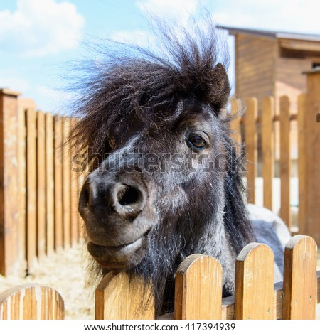 farm animal black pony behind a fence looking at the camera - stock photo