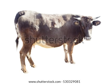 farm animal, cow isolated on white background