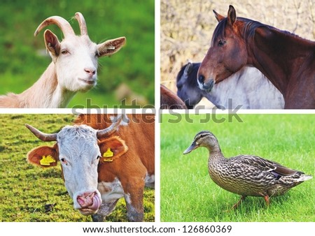 farm animals - collage - stock photo
