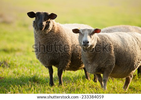 Farm animals: sheep grazing on a lovely green pasture - stock photo